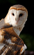 Barn Owls Prints - Sensing Print by Lisa Holmgreen