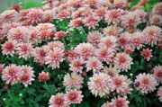Soil Photo Posters - Sentimental Surprise Chrysanthemum Poster by Debra  Miller