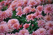 Soil Photo Posters - Sentimental Surprise Chrysanthemum Mums Poster by Debra  Miller