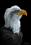 Bald Eagle Framed Prints - Sentinel Framed Print by Bob Nolin