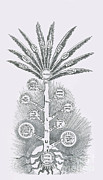 Kabbalah Posters - Sephirothic Tree Poster by Science Source