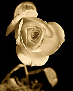 Black And White Prints Prints - Sepia Antique Rose Print by M K  Miller