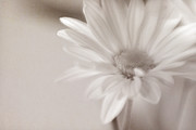 Sepia Daisy Print by Lisa McStamp