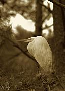 Mating Season Framed Prints - Sepia Egret  Framed Print by Phill  Doherty