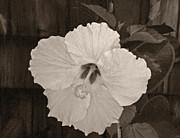 TONY GRIDER - Sepia Hibiscus Flower