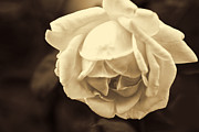 Peace Digital Art - Sepia Peace Rose by Linda Phelps