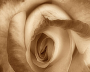 Bath Room Posters - Sepia Petals Poster by Cheryl Young