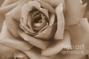 Roses Framed Prints - Sepia Rose Abstract Framed Print by Carol Groenen