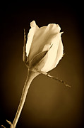 Black And White Prints Prints - Sepia Rose Bud Print by M K  Miller