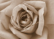 Rose Macro Prints - Sepia Rose Print by Carol Groenen