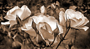 Umber Metal Prints - Sepia Rose Flower Garden Metal Print by Jennie Marie Schell