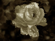 Duotone Photos - Sepia Rose by Jessica Jenney