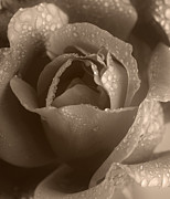Wet Rose Prints - Sepia Rose Print by Stephen Anderson