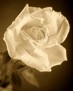 Black And White Prints Prints - Sepia Rose With Rain Drops Print by M K  Miller