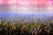 Corn Digital Art Framed Prints - September Cornfield Framed Print by Bill Cannon