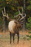Bull Elk Posters - September Serenade Poster by Sandy Sisti