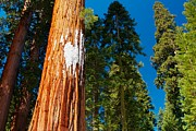 Sequoia Tree Prints - Sequoia forest in spring Print by Hideaki Sakurai