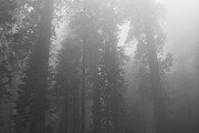 Sequoia Tree Prints - Sequoia National Park in the fog ll - black and white Print by Hideaki Sakurai