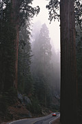 National Forests Posters - Sequoia Trees Dwarf A Car Traveling Poster by Carsten Peter