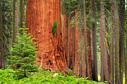 Giants Prints - Sequoias Print by Inge Johnsson