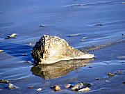Conch Photos - Serene Conch Shell at Isle of Palms by Elena Tudor