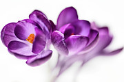Bob Daalder Art - Serene Crocus... b by Bob Daalder