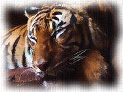 The Tiger Originals - Serene by Garry Staranchuk