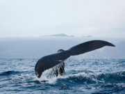 Tail Fluke Posters - Serene Humpback Whale Fluke Poster by Monica and Michael Sweet