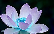 Blue Flower Posters - Serene Poster by Photodream Art