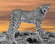 Cheetah Digital Art Metal Prints - Serengeti Cheetah Metal Print by Larry Linton