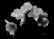 Primroses Photo Metal Prints - Serenity Metal Print by Barbara  White
