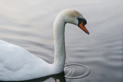 Swan Digital Art Posters - Serenity Poster by Julie L Hoddinott