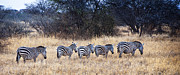 Zebras Photos - Serenity on the Savannah by Marion McCristall