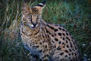 Serval Art - Serval Cat by Chris Lord