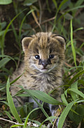 Serval Art - Serval Kitten Its Ears Just Starting by Suzi Eszterhas