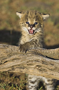 Serval Art - Serval Kitten Playing On Log by Suzi Eszterhas