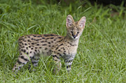 Serval Art - Serval Kitten Thirteen Week Old Orphan by Suzi Eszterhas