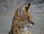 Large Sized Metal Prints - Serval Metal Print by Maggy Marsh