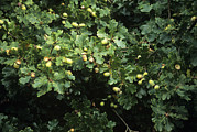 Acorns Photos - Sessile Oak Acorns (quercus Petraea) by Adrian Thomas