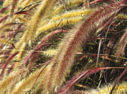 Dried Reeds Posters - Setaria Italica Red Jewel - Red Bristle Grass Poster by Anne Mott