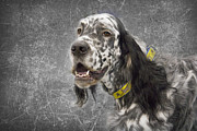 English Dog Prints - Setter 1 Print by Rebecca Cozart