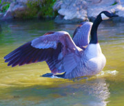 Canadian Geese Digital Art - Settling In by Betsy A Cutler East Coast Barrier Islands