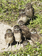 Burrowing Owl Framed Prints - Seven Owls Framed Print by Wade Aiken