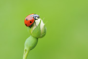 Longhorn Photos - Seven Spot Ladybird   At Bud Of Wild Rose Franconia, Bavaria, Germany by Martin Ruegner