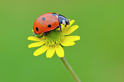 Longhorn Photos - Seven Spot Ladybird On Flower by Martin Ruegner