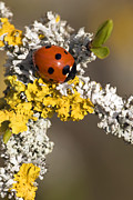 Septempunctata Prints - Seven-spot Ladybird On Lichen Print by Adrian Bicker