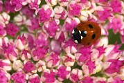 Septempunctata Prints - Seven-spot Ladybird On Sedum Flowers Print by Colin Varndell