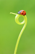 Curled Up Posters - Seven Spot Ladybird On Tendril Poster by Martin Ruegner