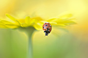 Longhorn Photos - Seven Spot Ladybird On Yellow Flower by Jacky Parker Photography