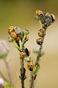 Septempunctata Prints - Seven-spot Ladybirds Eating Aphids Print by Bob Gibbons
